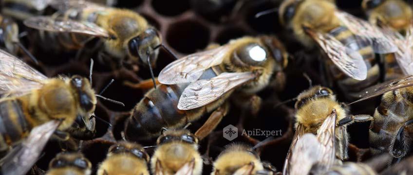 Caracteristici ale albinei Caucaziene