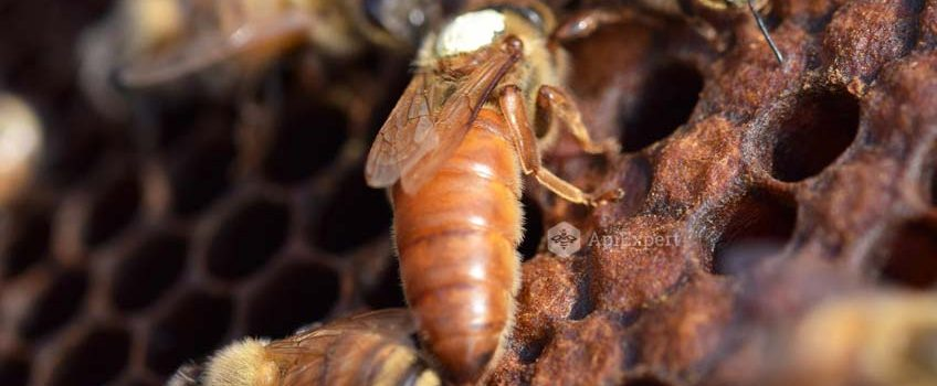 Albina Italiana. Caracteristici si recomandari