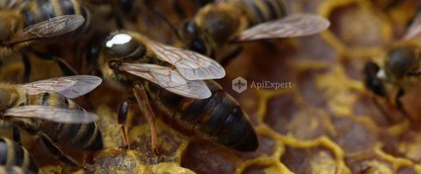 Caracteristici ale albinei Carpatine