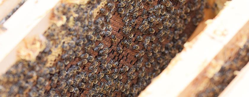 Tratament anti-varroa cu Acid Formic si Amitraz [Video]