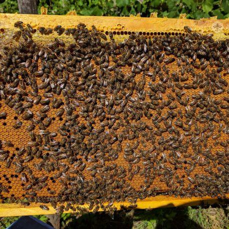 """Roiul pe 4 rame este format din doua rame marginase cu miere si pastura acoperite de albina si doua rame cu puiet: o rama cu puiet larvar si una cu puiet capacit. Se asigura astfel atat resursele de hrana necesare in perioada dezvoltarii, cat si o populatie si o arie de puiet care sa permita atingerea unui nivel optim pana finalul sezonului. Acceptam pre-comenzi pentru sezonul 2017. Pretul unui roi pe 4 rame variaza in functie de cantitatea comandata si de perioada livrarii. Mai jos veti gasi<a href=""""http://apiexpert.ro/grila-reduceri/"""" target=""""_blank"""" rel=""""noopener noreferrer"""">grila de reduceri de pret</a>. Predarea se face personal in Craiova. <strong>Transport gratuit</strong> cu flota propriepentru comenzi mai mari de 50 de bucati. Comenzi telefonice: <span style=""""font-size: 14pt;""""><strong>0774 436 587</strong></span>,<span style=""""font-size: 14pt;""""><strong>0743 080 689</strong></span> <hr /> <span style=""""color: #c0c0c0; font-size: small;"""">Selectati perioada de livrare si apoi Adaugati in Cos. Comanda minima: 4 buc.</span>"""
