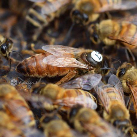 Matci Buckfast Selectionate si Inseminate Artificial
