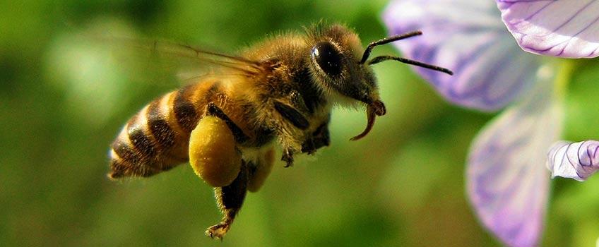 Hranirea proteica a albinelor